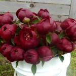 Chocolate-Peonies_grande