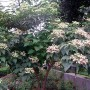 ClerodendronTrichotomum2_600