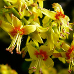 Koelreuteria-paniculata-flowers-Photo-not-from-the-Arboretum