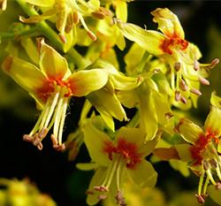 Koelreuteria-paniculata-flowers-Photo-not-from-the-Arboretum