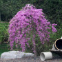Lavender_Twist_Weeping_Redbud_450_MAIN