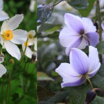 Plant-Sale-2015-Wild-Swan-anemone-credit-Paul-Zammit