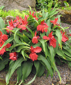 Roscoea Red Gurkha