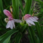 Roscoea alpina - Copy