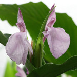 Roscoea-purpurea-Twin-Towers-800px