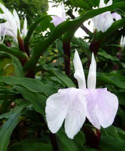 Roscoea purpurea Vannin Gattungstext