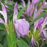 Roscoea purpurea Vincent