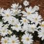Sanguinaria canadensis Tenn Formclumpsized