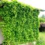 Schizandra_chinensis_wall