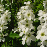 TURKESTAN-PEARL-BUSH-Exochorda-korolkowii-WHITE-BLOSSOMS-WITH