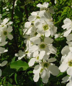 TURKESTAN-PEARL-BUSH-Exochorda-korolkowii-WHITE-BLOSSOMS-WITH