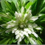 anemone_nemorosa_monstrosa_b_thumb[2]