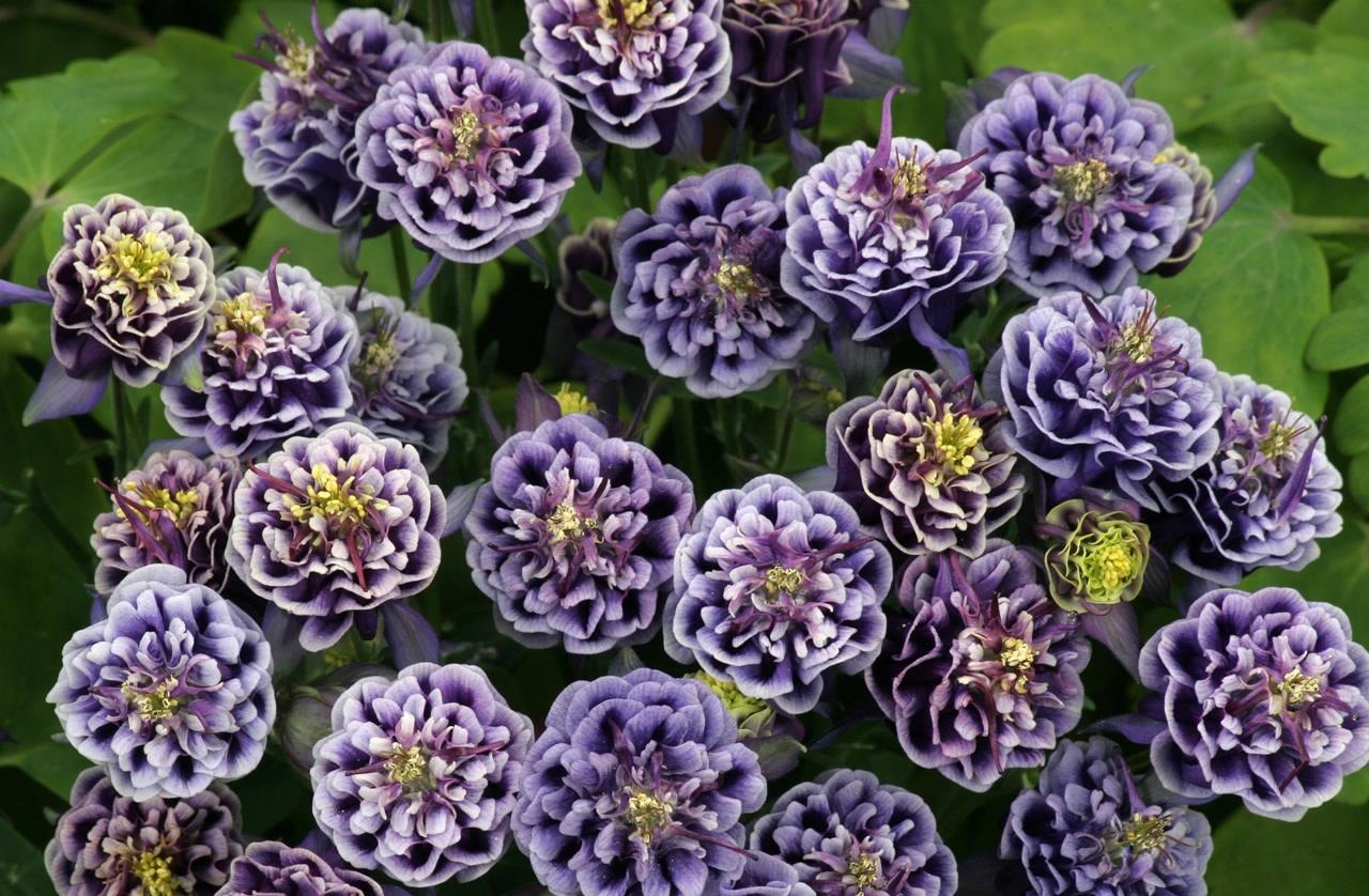 Садовые цветы многолетники из семян название и фото