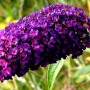 buddleia_davidii_black-knight
