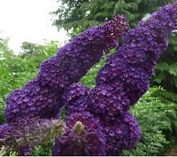 buddleja-davidii-black-knight