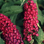 buddleja-davidii-royal-red