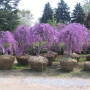 cercis-x-canadensis-lavender-twist-covey-1-1