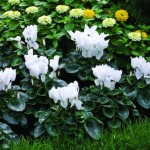 cyclamen__sierra_white_