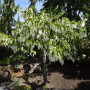 davidia-involucrata-dove-tree-sonoma-041816-104