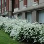 Exochorda × macrantha ?The Bride? [The Bride Pearlbush]