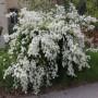 exochorda-racemosa-niagara-139363-L-0001