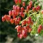koelreuteria-paniculata-coral-sun-cov-savonnier-coral-sun