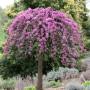 lavender-twist-weeping-redbud-cercis-canadensis