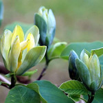 magnolia-blue-opal-114537