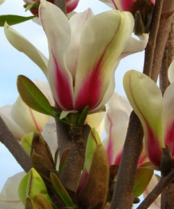 magnolia-green-diamond (1)