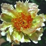 peon_green_lotus