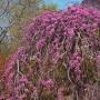 pink-heartbreaker-weeping-redbud-tree-600x600