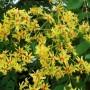 savonnier-fleur