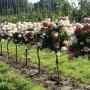 Hortensien auf Stamm
