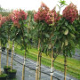 hydrangea_tree2