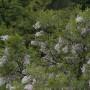 Xanthoceras-sorbifolium-3