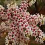 xanthoceras sorbifolium seed (1)