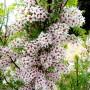xanthoceras-sorbifolium-visoflora-52217