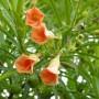 Thevetia_Peruviana___Nerifolia_____Orange__-m