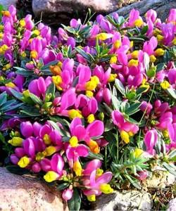1-polygala-chamaebuxus-shrubby-milkwort-ornamental-flower-p386-2040_image