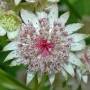 Astrantia Flowers 1