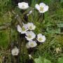 Podophyllum-emodi-flowers-2007-1