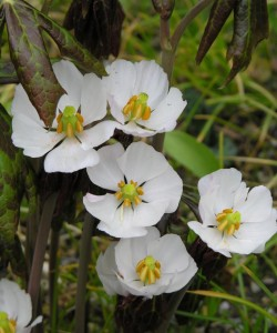 Podophyllum-emodi-flowers-2007