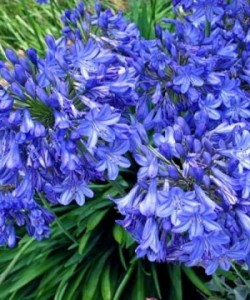 agapanthus_blue_triumphator-480x360