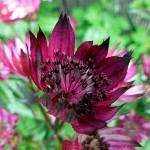 astrantia-hadspen-blood18-z