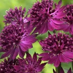 astrantia_collection_1014526
