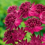df73c0aceb6a4da8b836711153b99256--astrantia-major-flower-gardening