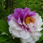 43256ce34dd48fb9b3cbe456af75361b--peony-flower-flower-seeds