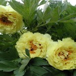 pion-drevovidnyj-kinko-paeonia-suffruticosa-kinko-rastenie.jpg