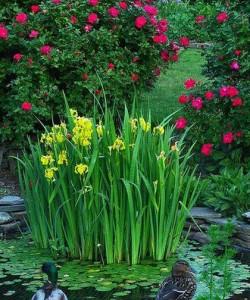 ирис болотныйe6b18085c5736d6aeeaa8d0eccbaf208--garden-water-features-garden-ponds