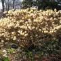edgeworthiachrysantha01